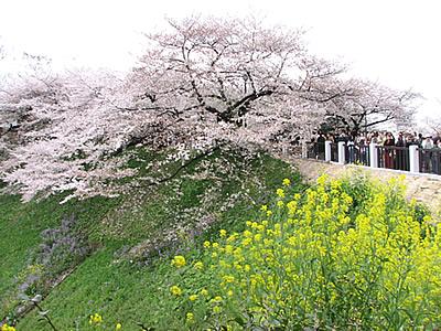 sakura_chidorigafuchi005.jpg